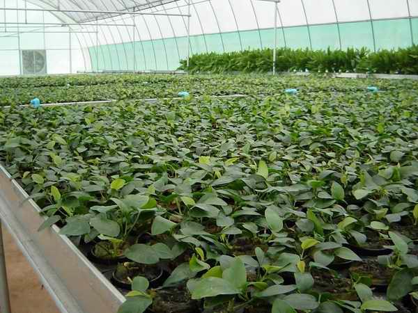 Aquatic plant aquatic plant wholesale for Cheap pond plants